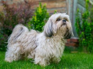 Shih Tzu Puppies For Sale In Pune