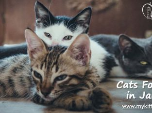 Cats For Sale in Jammu   Kitten for Sale in Jammu